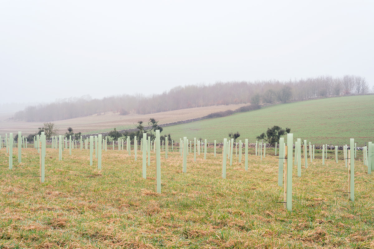 A field with newly planted saplings in protective tubes, in Condicote near Stow-on-the-Wold in the Cotswolds