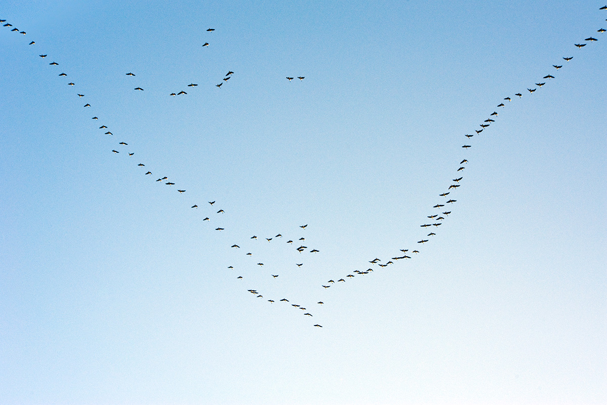 Hundreds of pink-footed geese migrating to Martin Mere, Lancashire, from Iceland