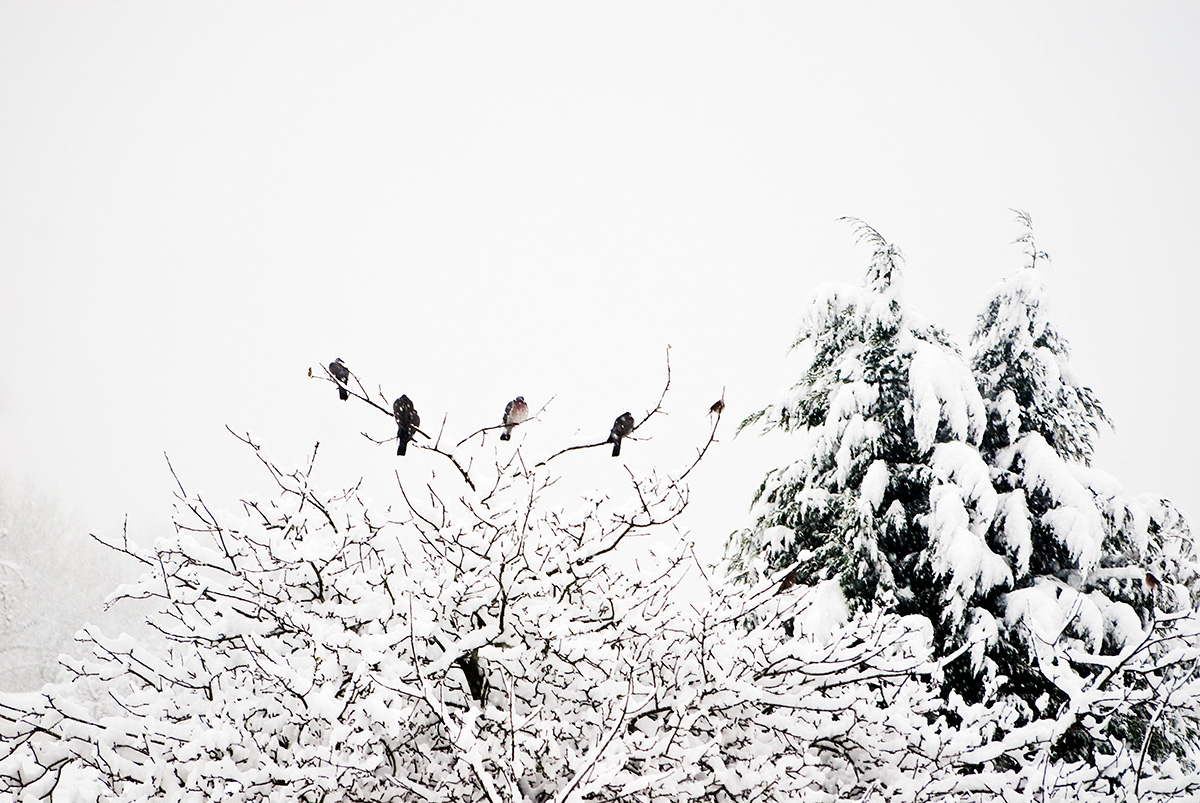 Pigeons in a snowstorm
