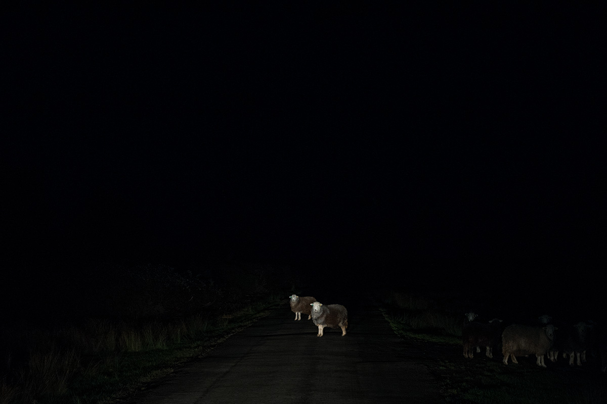 Sheep in the road on Castlemorton Common