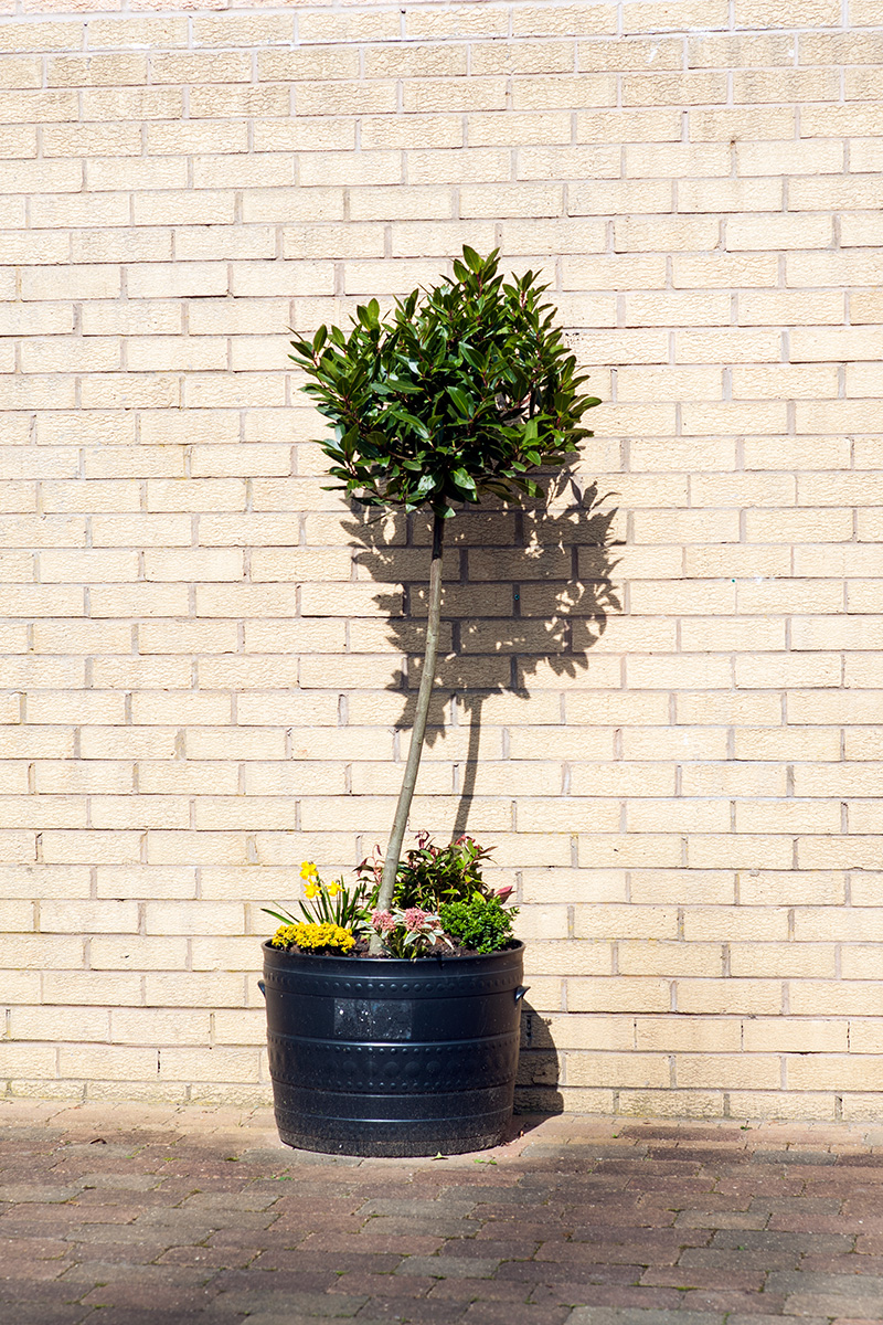 A tree in a pot with flowers around the tree's base, seen against a brick wall