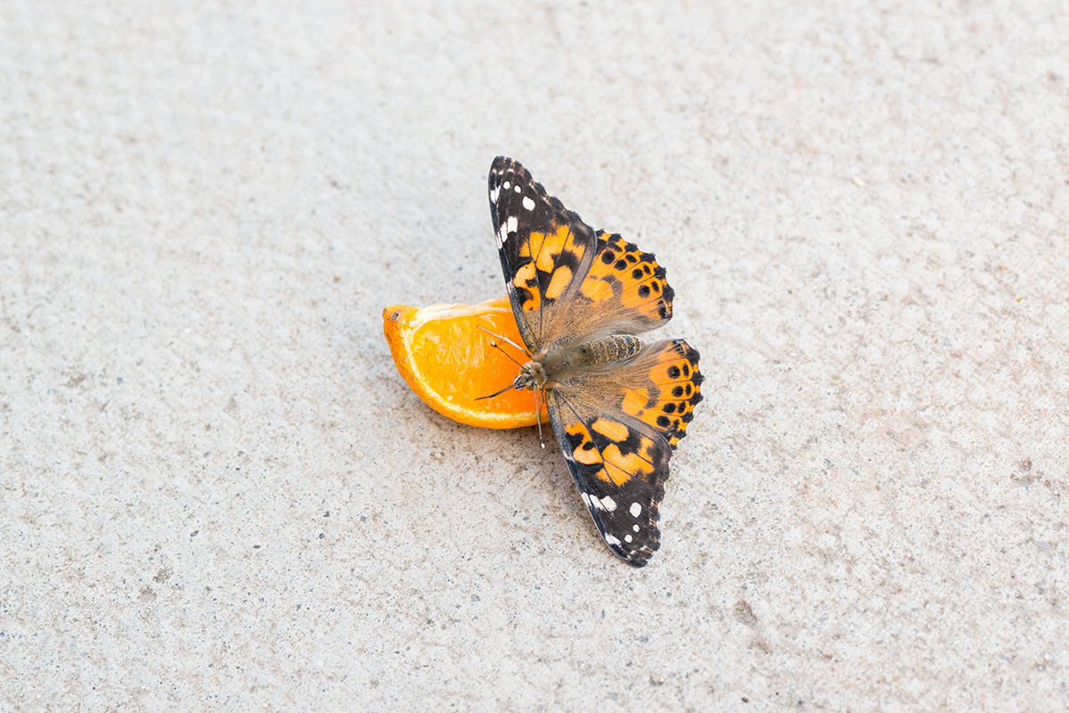 A painted lady eating a slice of orange