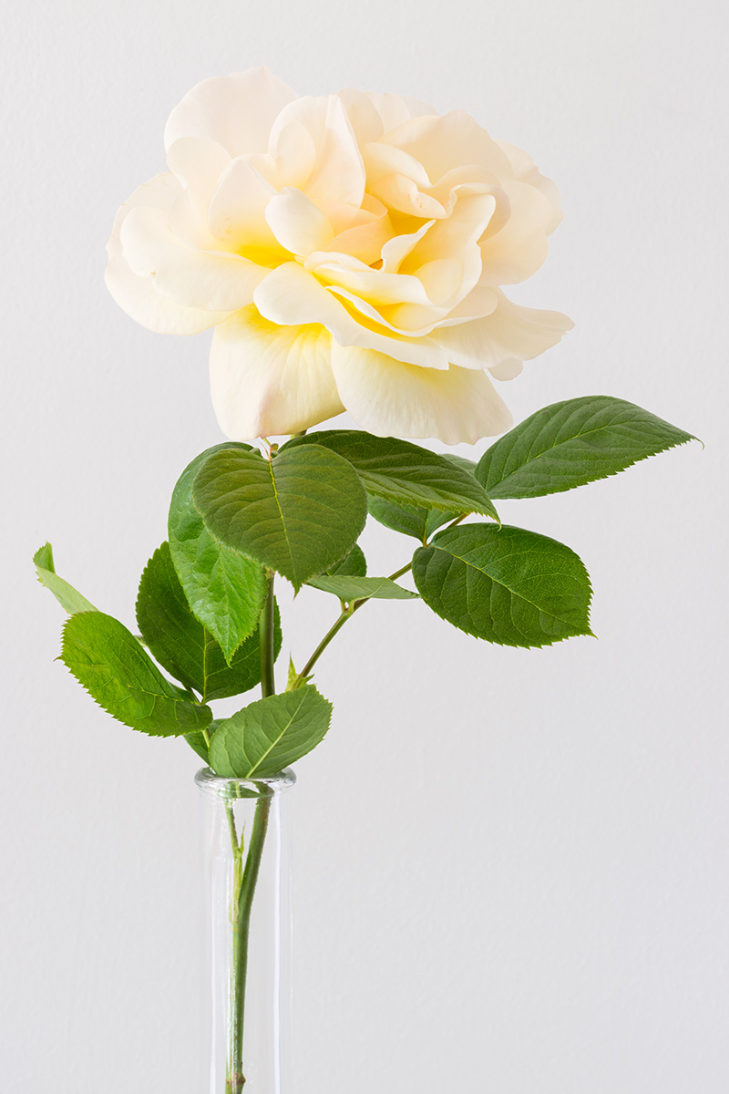 A long stem rose in a narrow glass vase