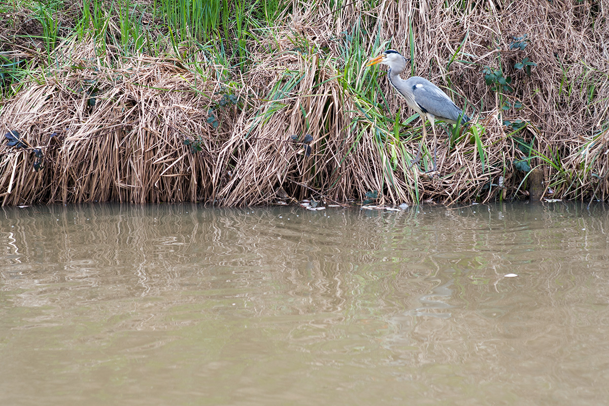 A heron fishing in the Stratford-upon-Avon Canal