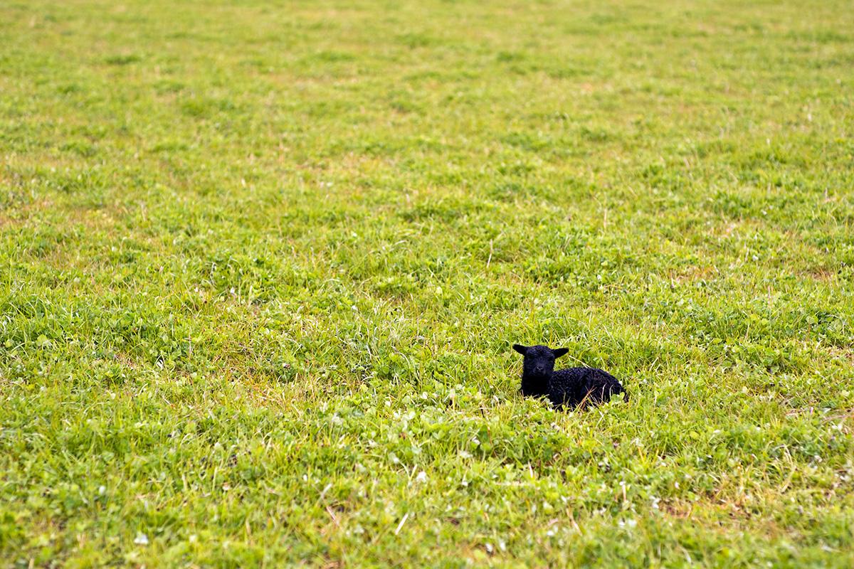 A newborn Hebridean lamb on Old Allangrange Farm, Black Isle
