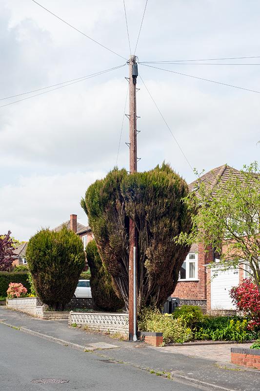 A telegraph pole through a fir tree, Hollywood, Worcestershire