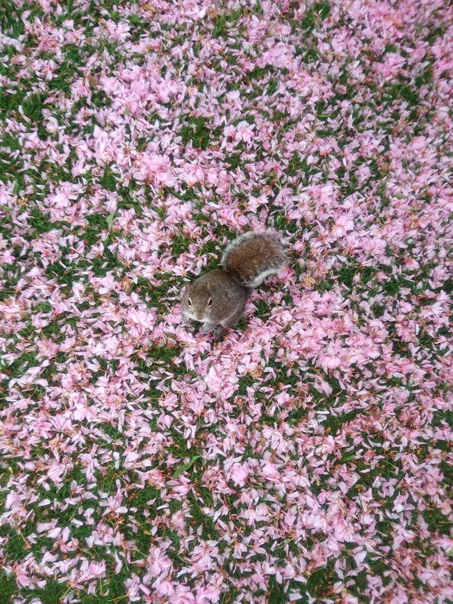 A grey squirrel standing amongst fallen blossom in Greenwich Park, Greenwich, London