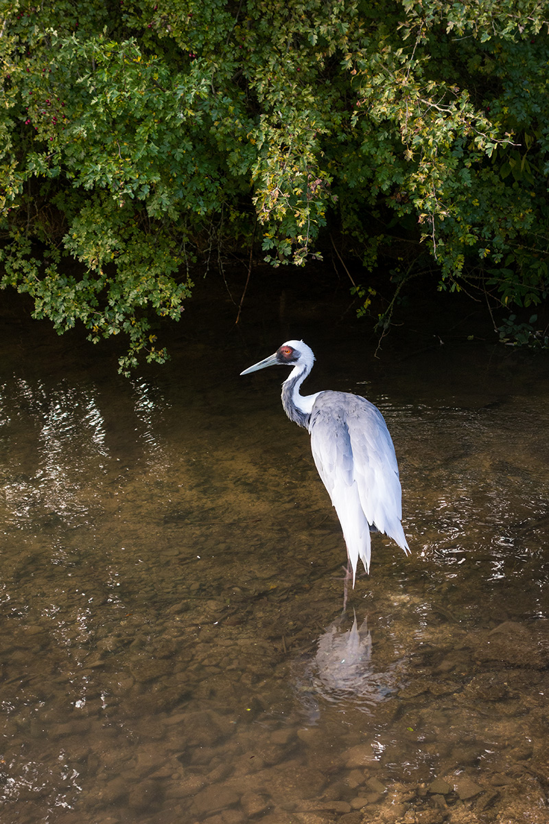 A white-naped crane on the River Windrush at Birdland, Bourton-on-the-Water
